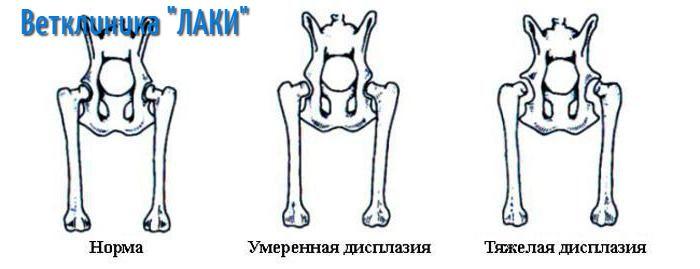 дисплазия у собак стадии